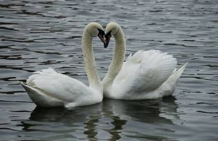 picture of two swans