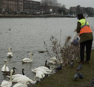 picture of person feeding swans and ducks